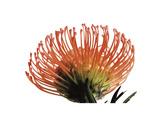 Orange Protea 3