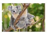 Australian Koala Bear & Baby Giclée premium