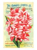 Conard & Jones 1898 Pink Canna
