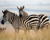 Zebras in the Tall Grass (col) Full Bleed