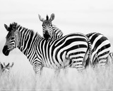 Zebras in the Tall Grass Full Bleed (b&w)
