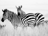 Zebras in the Tall Grass (b&w) Full Bleed