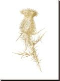 Thistle 1 Golden White