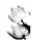 Translucent Tulips II