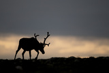 Reindeer Silhouetted Against Sky
