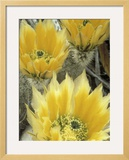 Flowers in Chihuahuan Desert  Big Bend National Park  Texas  USA
