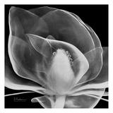 Midnight Queen Magnolia