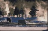 American Bison  Wyoming