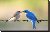 Bluebird Pair