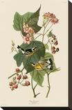 Black & Yellow Warblers