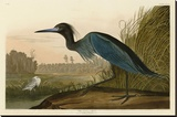 Blue Crane or Heron