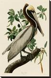 Brown Pelican II