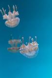 Spotted Lagoon Jelly  Golden Medusa  Mastigias Papua