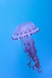 Purple Striped Jellyfish  Chrysaora Colorata