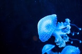 Glowing Blue Jellyfishes