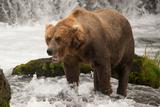Brown Bear Yawns beside Green Mossy Rock