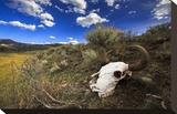 Yellowstone Bison Skull