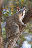 Silver - Gray Squirrel