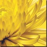 Yellow Mum 2