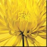 Yellow Mum 4
