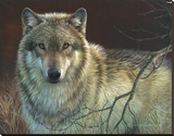 Uninterrupted Stare - Gray Wolf