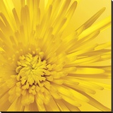 Yellow Mum 3