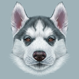 Illustrative Portrait of Husky Puppy Cute Portrait of Young Grey Bi-Colour Dog with Brown Eyes