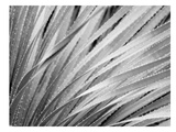 Agave Abstract 3 B+W