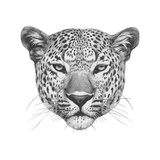 Original Drawing of Leopard Isolated on White Background