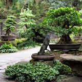China 10MKm2 Collection - Bonsai Trees