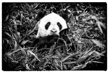 China 10MKm2 Collection - Giant Panda