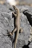 Lizard  La Palma  Canary Islands  Spain  2009