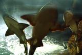 Basking Sharks in the Aquarium  Loro Parque  Tenerife  Canary Islands  2007