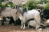 Goats  Kefalonia  Greece