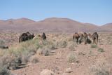 Camels  Trans Atlas Road  Morocco