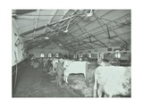Grooming Cattle in a Cowshed  Claybury Hospital  Woodford Bridge  London  1937