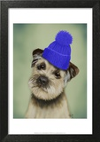 Border Terrier with Blue Bobble Hat