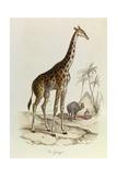 The Giraffe  'Quadrupeds'  from De Buffon