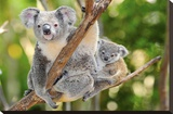 Australian Koala Bear & Baby