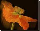 Schwartz - Dramatic Orange Poppy