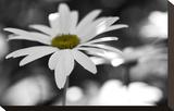 Schwartz - Sun-Speckled Daisy