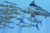 A School of Amemasu Fish Try to Evade Three Large Marlin Predators