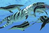Dolichorhynchops Plesiosaurs Try to Evade a Dakosaurus Marine Reptile