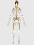 Medical Illustration of Peripheral Nervous System with Brain