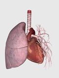 Pulmonary Circulation of Human Heart and Lung