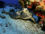 A Hawksbill Sea Turtle Resting under a Reef in Cozumel  Mexico