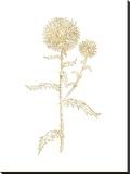 Thistle 2 Golden White