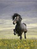 Icelandic Pony