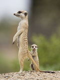 Meerkat and Pup  Namibia