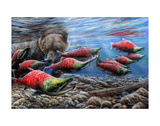 The Last Run - Sockeye Salmon